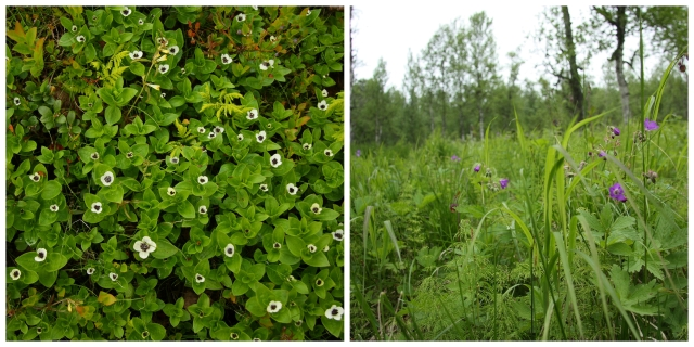 meadow flowers in lapland