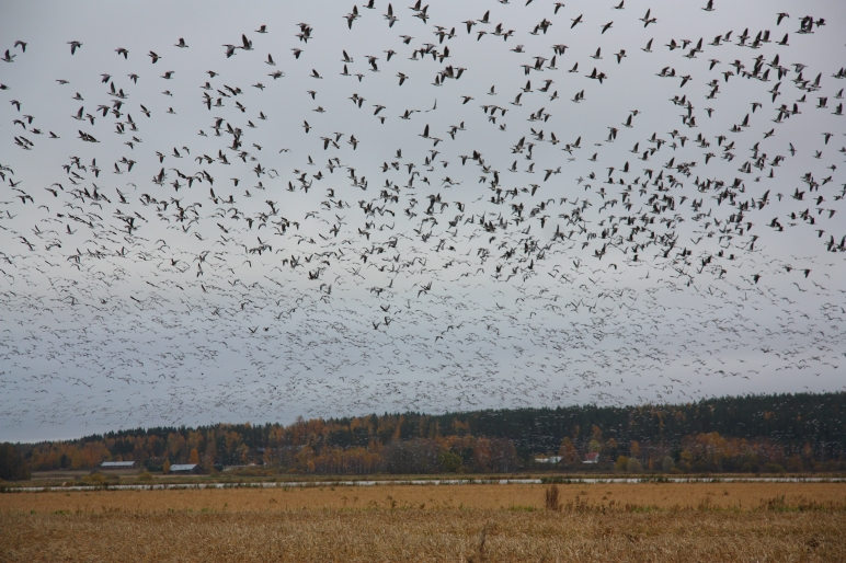 mass immigration of geese elimäki hanhien suurmuutto