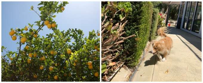 lemons and herbs in California