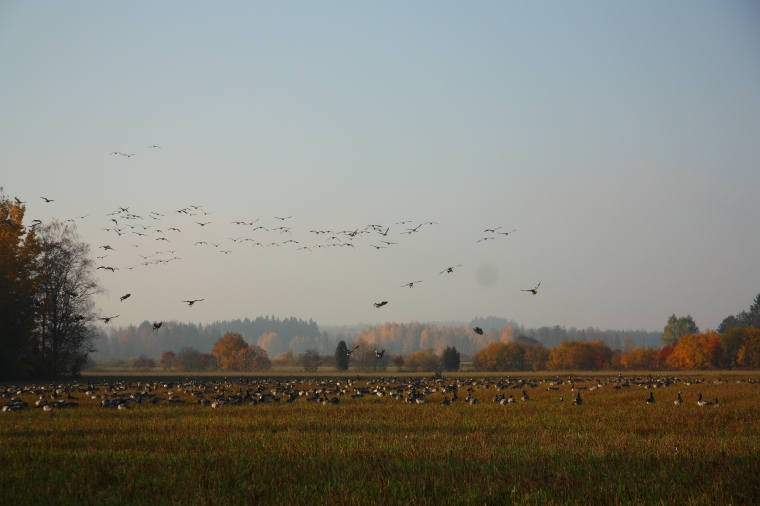 migrating geese Finland hanhien syysmuutto